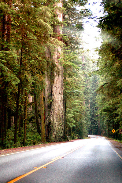 Redwood_forest_web